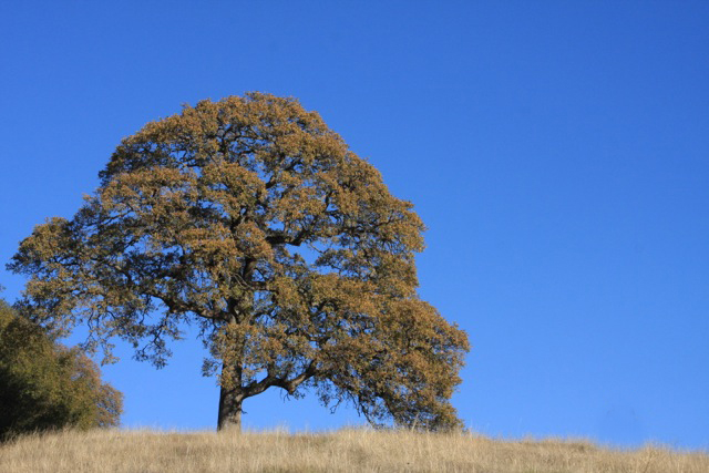 Oak trees of the Sierra Nevadas